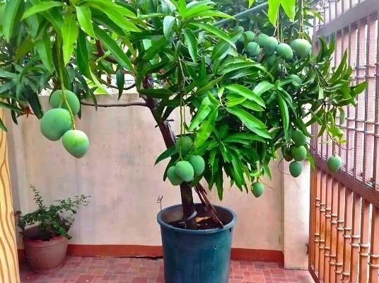 дерево манго с плодами в домашних условиях