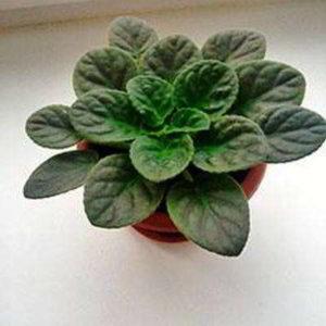 10 причин: почему не цветут фиалки в домашних условиях