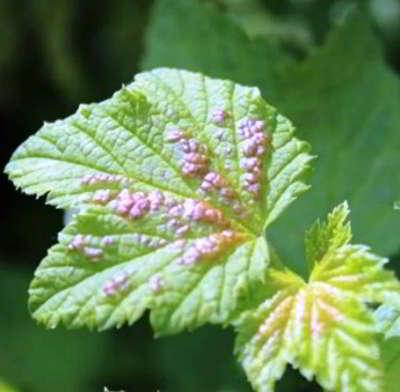 Красная смородина: болезни и лечение — нюансы выращивания