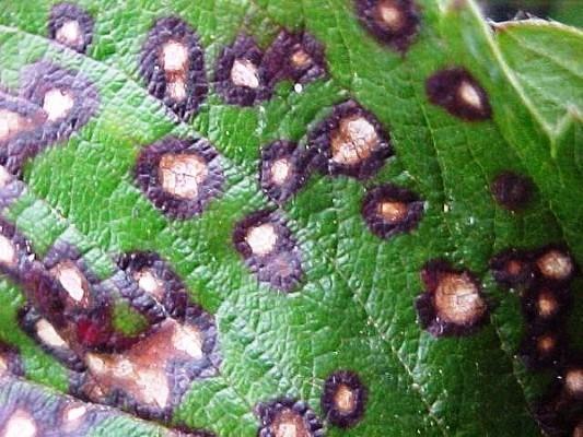 красные пятна на листьях смородины