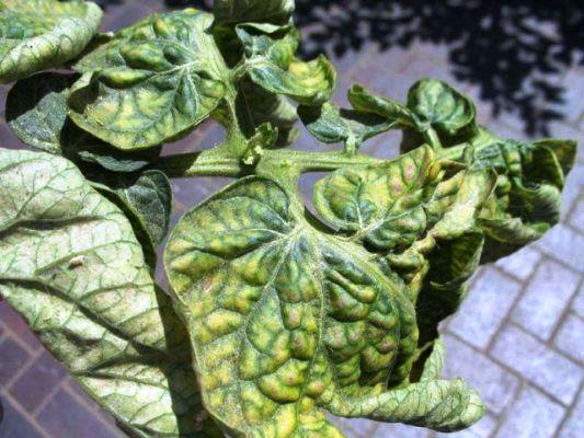 листья помидор скручиваются и желтеют