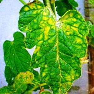 Что делать если у помидор желтеют листья, чем обработать, подкормить