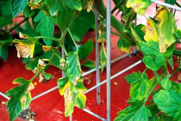 желтеют листья помидор в теплице что делать