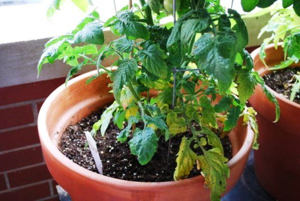 чем обработать если желтеют листья томатов