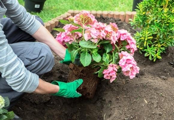 посадка садовой гортензии в почву