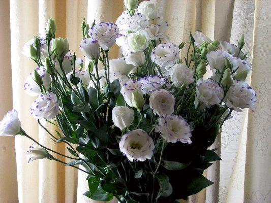 эустома цветок в домашних условиях фото