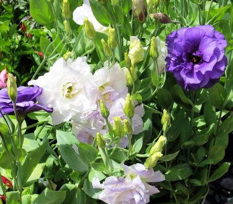 эустома фото цветов в саду
