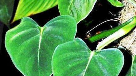 Филодендрон: виды фото в природных и домашних условиях
