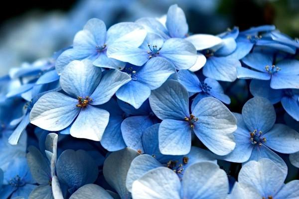 гортензия цвет цветов кислотность