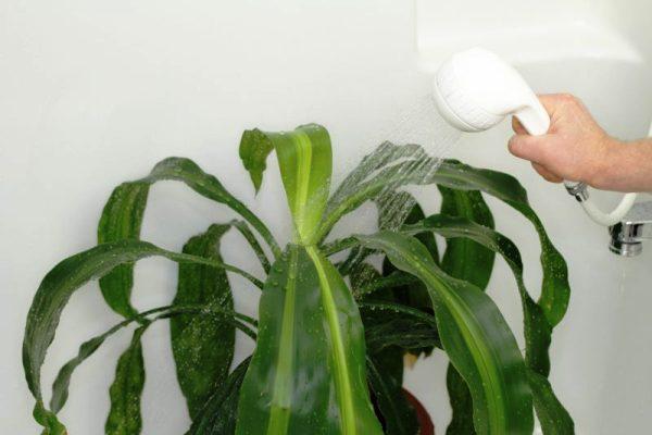 драцена полив в домашних условиях