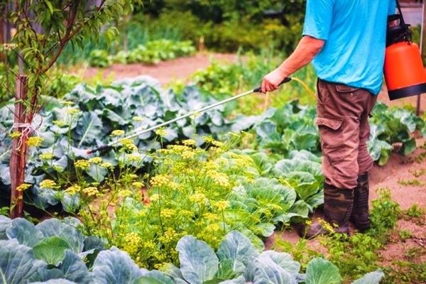 обработка капусты против вредителей