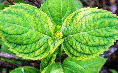 У гортензии желтеют листья: почему и что делать, способы лечения