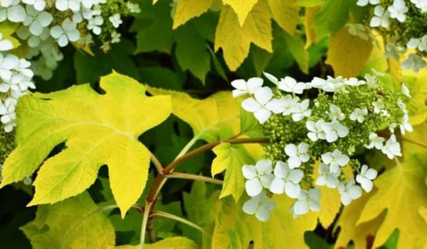 причины пожелтения листьев у гортензии