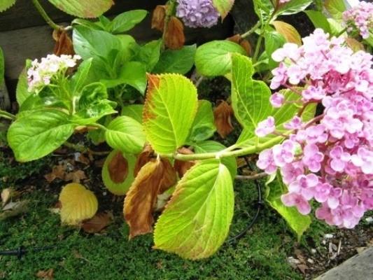 гортензия метельчатая желтеют и сохнут листья