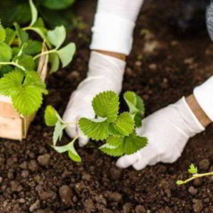 Клубника осенью: когда и как сажать в открытый грунт