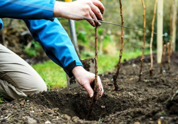 посадка малины осенью когда и как посадить какие удобрения