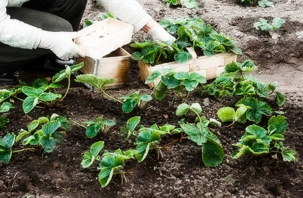 сроки посадки клубники в открытый грунт осенью