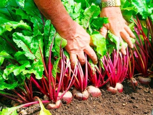 урожай свеклы на грядке когда убирать и как хранить