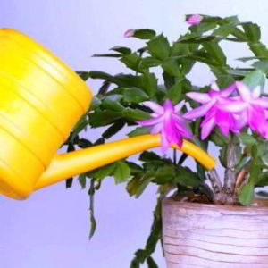 Декабрист: правильный полив в домашних условиях