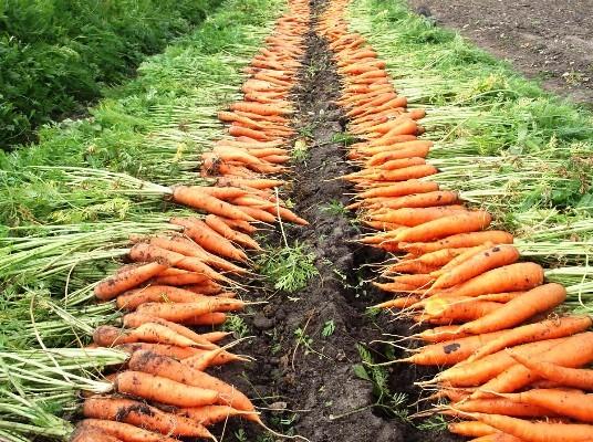 урожай моркови когда убирать с грядок