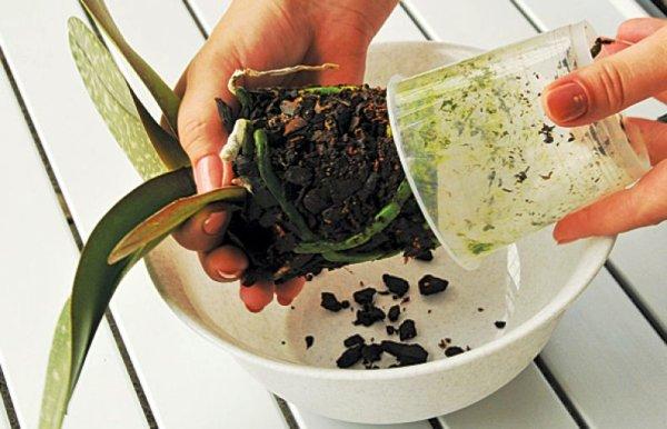 как пересаживать орхидею в домашних условиях
