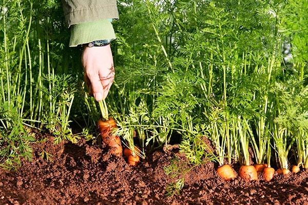 сбор моркови с грядки вручную