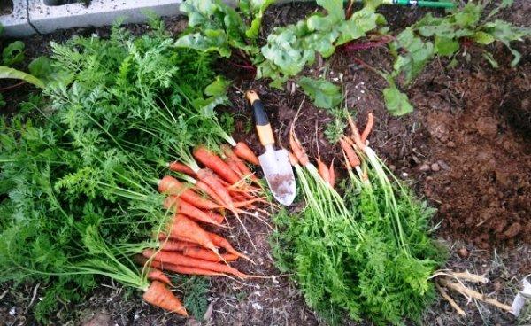 выкапывание с грядки моркови