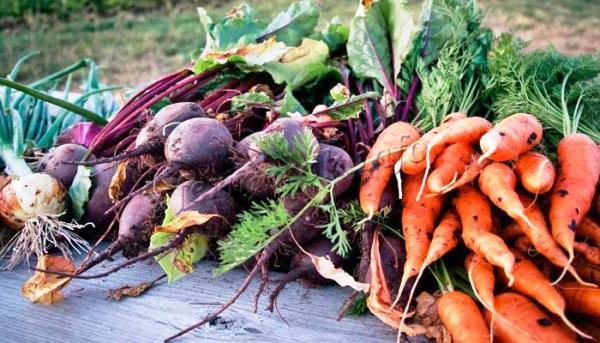 свекла и морковь корнеплоды