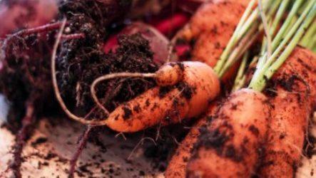 Когда нужно убирать морковь и свеклу с грядок