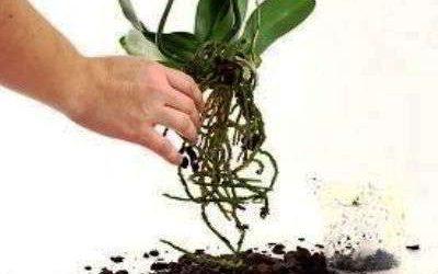 Когда и как пересаживать орхидею в домашних условиях
