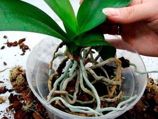 Peresadka-orhidei-в-новый-горшок