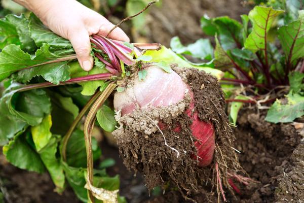 свекла урожай уборка с грядки