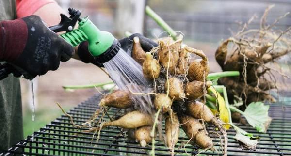 клубни георгин подготовка к хранению зимой