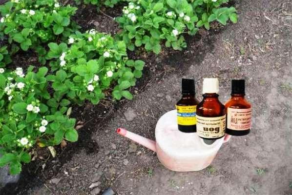 клубника весной обработка от вредителей и болезней йодом