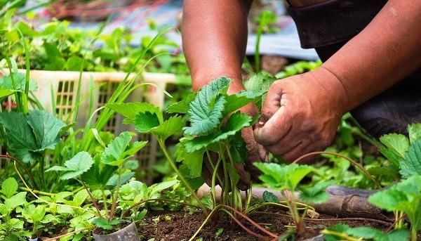 клубника весной обработка от вредителей и болезней