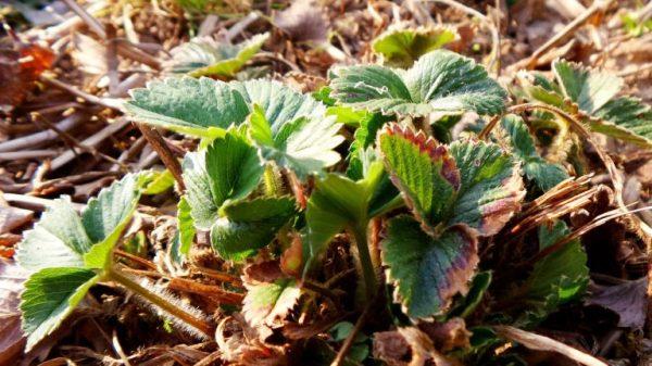 кустик клубники весной фото
