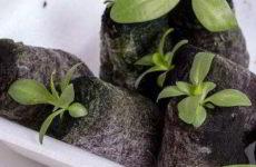 Эустома из семян: как и когда сеять в домашних условиях