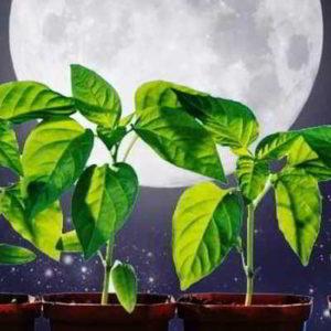 Рассада перца: когда сажать в 2020 году по лунному календарю