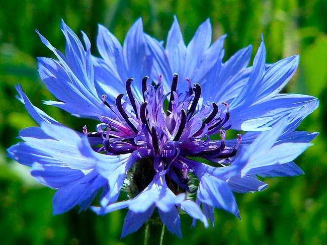 синий василёк цветок овена
