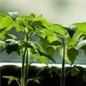 Когда сажать помидоры на рассаду по Лунному календарю в 2020 году