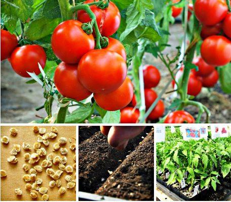 когда сажать помидоры на рассаду в 2020 году по лунному календарю в феврале