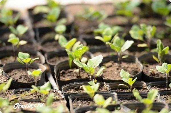баклажан рассада выращивание