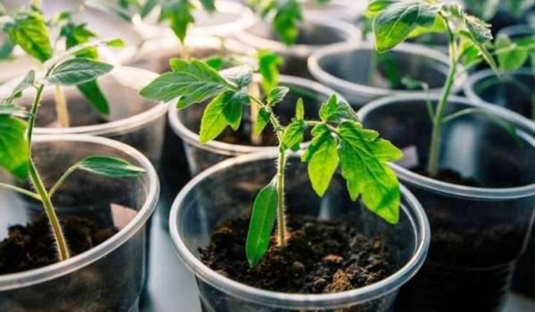 сеем томаты на рассаду в 2020 году по лунному календарю