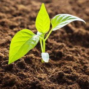 Предпосевная подготовка семян перца к посадке на рассаду