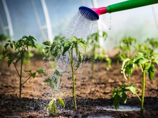 как часто поливать рассаду помидор сколько раз
