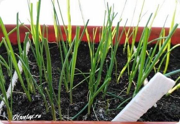 эксибишен рассада выращивание из семян