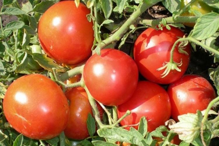 помидоры сорта монгольский карлик