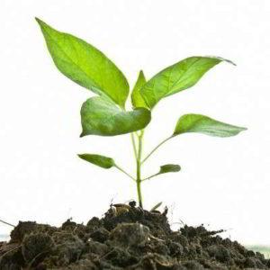 Как вырастить рассаду перца крепкую и здоровую в домашних условиях