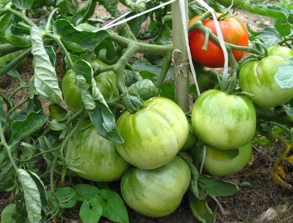 сорт томата карлик фото