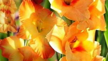 Как правильно сажать весной луковицы гладиолусов в грунт